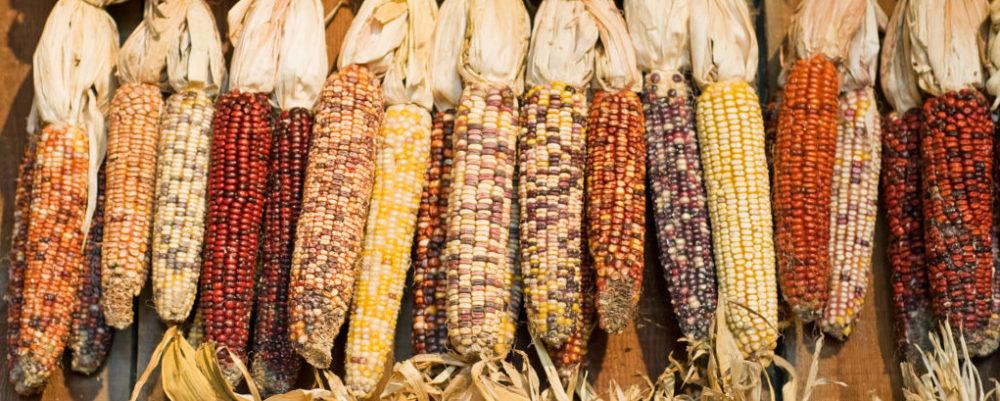 Maize © Ken Cole | Dreamstime