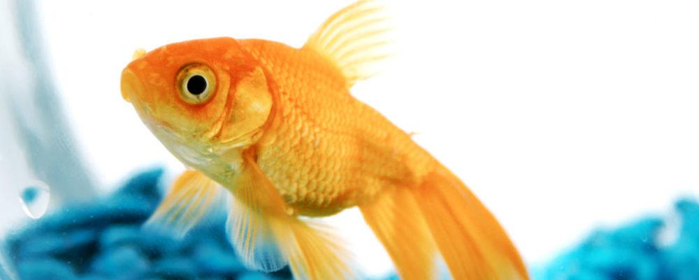 goldfish © Johanna Goodyear | Dreamstime