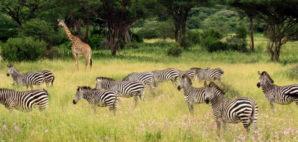 safari © Benjamino Latkovskis | Dreamstime
