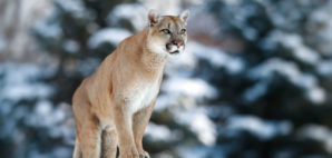 Puma © Евгений Баранов   Dreamstime