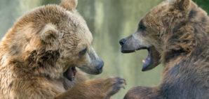 Grizzly Bears © Izanbar | Dreamstime.com