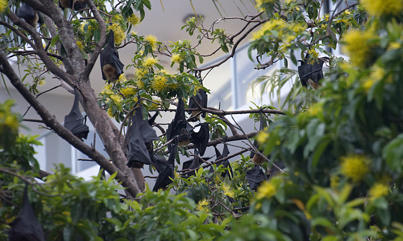 Fruit Bats, also known as Flying Foxes, hanging from a tree in downtown Cairns, Australia