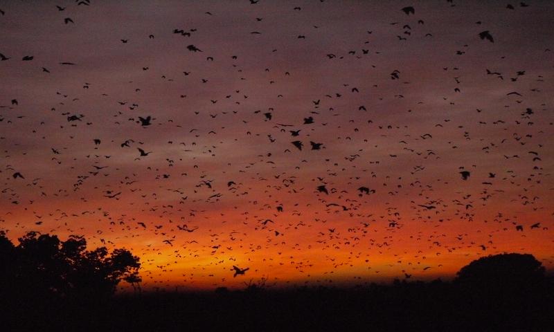 Bats at sunrise